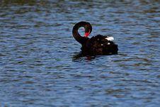 Free Black Swan On Lake Royalty Free Stock Images - 19334549