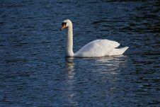 Free White Swan On Lake Stock Image - 19334601