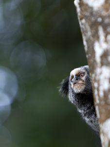 Free Small Monkey Stock Photography - 19335072