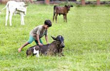 Free Kid Playing With Calf Stock Photography - 19335462