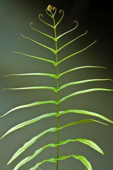 Leaf Of A Fern On A Dark Background Close Up Royalty Free Stock Photography