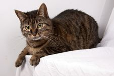 Tabby Cat Stock Image