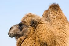Free Camel Royalty Free Stock Photography - 19337627