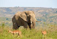 Free Large Bull Elephant Royalty Free Stock Photo - 19338075