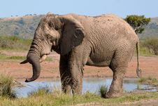 Free Bull Elephant Drinking Water Stock Images - 19338194