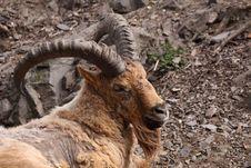 Free Caucasian Antelope Stock Photography - 19338672