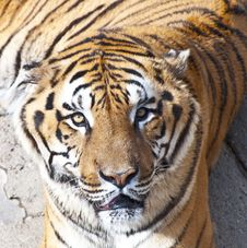Free Bengal Tiger Portrait Royalty Free Stock Image - 19339296
