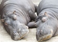 Free Hippopotamus Couple Sleeping Royalty Free Stock Photography - 19339447