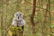 Free The Great Grey Owl Or Lapland Owl, Strix Nebulosa Royalty Free Stock Photo - 19339765