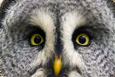 Free The Great Grey Owl Or Lapland Owl, Strix Nebulosa Stock Photos - 19339773
