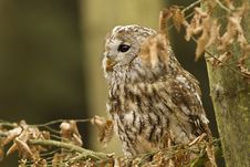 Free Tawny Owl Stock Photos - 19339793