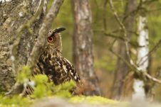 Free Eurasian Eagle Owl Stock Image - 19339801