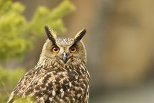 Free Eurasian Eagle Owl Portrait Royalty Free Stock Images - 19339819
