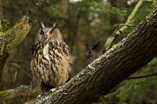 Free A Pair Of Eurasian Eagle Owls Royalty Free Stock Photos - 19339838