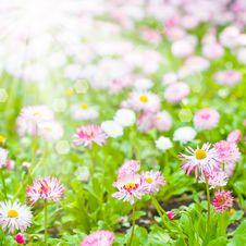 Free Field Of Marguerite Stock Photography - 19340372