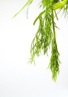 Free Fennel Leaf Royalty Free Stock Photos - 19341058