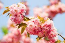 """Free Prunus Serrulata """"Kanzan"""" - Sakura Stock Images - 19341804"""