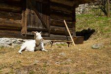 Free White Goat Stock Photo - 19341870