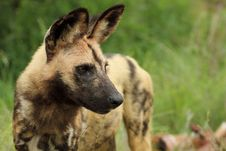 Free Wild Dog Lycaon Pictus Stock Photos - 19342423