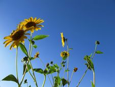 Free Sunflowers And Blue Sky Royalty Free Stock Photo - 19342445
