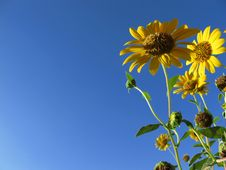 Free Sunflowers And Blue Sky Royalty Free Stock Images - 19342449