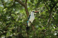 Free Woodland Kingfisher Royalty Free Stock Photo - 19342475