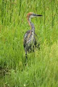 Free Goliath Heron Stock Photos - 19342553