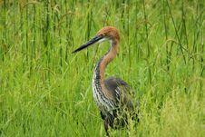 Free Goliath Heron Stock Photos - 19342603