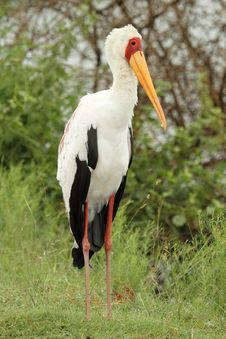Free Yellow Billed Stork Royalty Free Stock Photo - 19342665