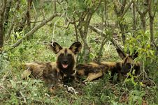 Free Wild Dog Lycaon Pictus Stock Images - 19342814