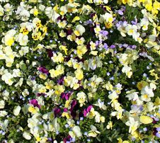 Free Yellow Pansies Field Stock Image - 19343381