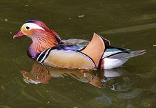Free Colorful Mandarin Duck (Aix Galericulata) Stock Photo - 19343640