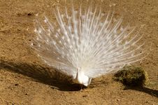 Free White Peacock Stock Photography - 19343722