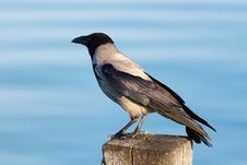 Free Hooded Crow Stock Image - 19344241