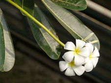 Free Plumeria Or Templetree Stock Image - 19344841