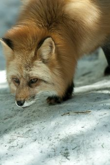 Free Red Fox Royalty Free Stock Photos - 19344918