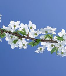Free Spring Tree Royalty Free Stock Photography - 19346177