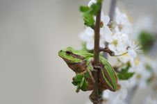 Free Tree Frog Royalty Free Stock Image - 19346416