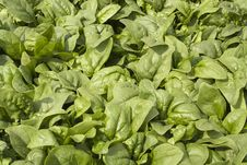 Free Lettuce Stock Images - 19347294
