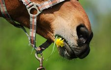 Free Horse Mouth With Dandelion Stock Photo - 19347780
