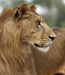 Free Young Lion Royalty Free Stock Image - 19347786