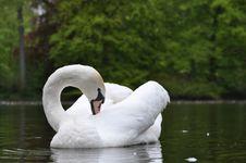 Free Beautiful Swan Stock Image - 19348831