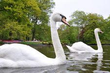 Free Beautiful Swimming Swans Royalty Free Stock Photo - 19348835