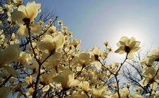 Free Magnolia Royalty Free Stock Photos - 19349008