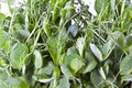 Free Pea Shoots Royalty Free Stock Image - 19356176