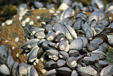 Free Mussels Stock Images - 19350024