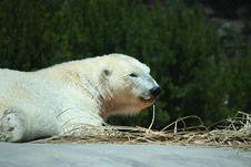 Free Polar Bear Stock Photo - 19350070