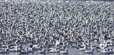 Free Flock Of Snow Geese Stock Photo - 19350160