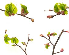 Free New Tree Buds. Stock Photography - 19350602