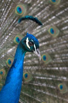 Free Peacock Close Up Stock Photo - 19350740
